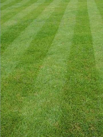Fine Lawn Seed
