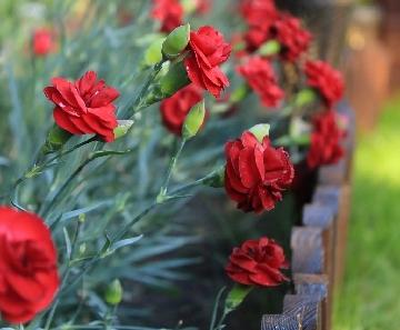 Our Dianthus plants