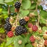 12L Sorbus ulleungensis 'Olympic Flame' 1.5m